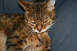 Bengal cat bites nails-2