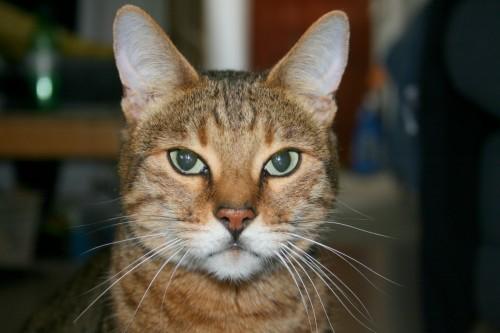 Bengal cat has serious expression
