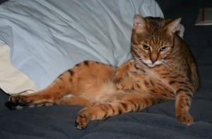 Bengal cat licks tummy