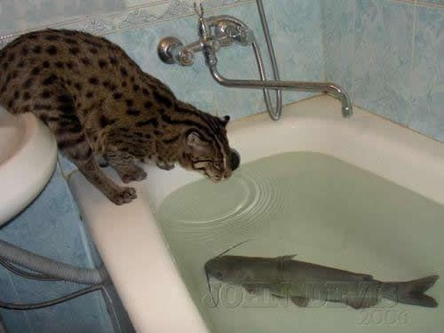 1 Bengal Cat looks into water in bath