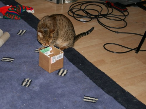 Bengal cat has head stuck in a box-1