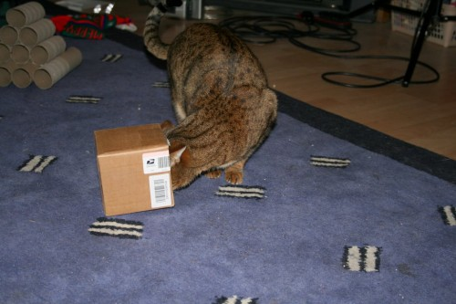 Bengal cat has head stuck in a box