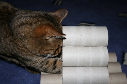 Bengal cat plays with vicky halls toilet roll toy-2