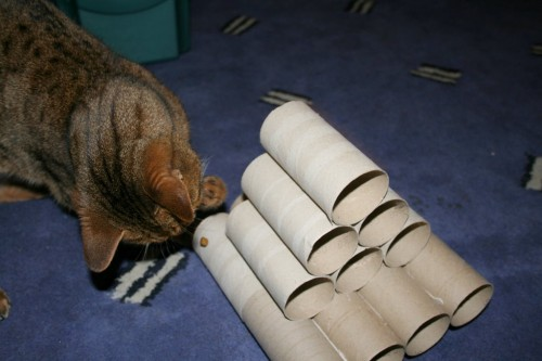 Bengal cat plays with vicky halls toilet roll toy-3