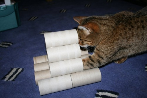 Bengal cat plays with vicky halls toilet roll toy-4