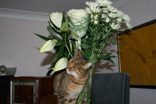 Bengal cat sniffs lilly