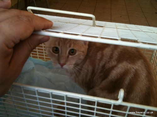 scared cat in basket at vets