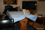 Cat on the table cloth