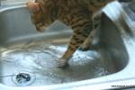 bengal cat in water