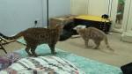 introduce bengal kitten to cat